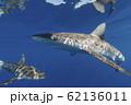 海面を泳ぐガラパゴスザメ 小笠原 62136011
