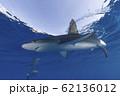 海面を泳ぐガラパゴスザメ 小笠原 62136012
