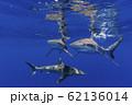 海面を泳ぐガラパゴスザメ 小笠原 62136014