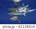 海面を泳ぐガラパゴスザメ 小笠原 62136016