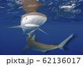 海面を泳ぐガラパゴスザメ 小笠原 62136017