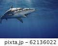 海面を泳ぐガラパゴスザメ 小笠原 62136022