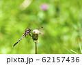 ムギワラトンボ 62157436