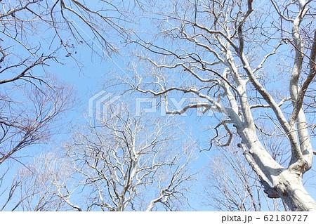 青空を覆うスズカケノキ 冬の風物詩 プラタナス 62180727