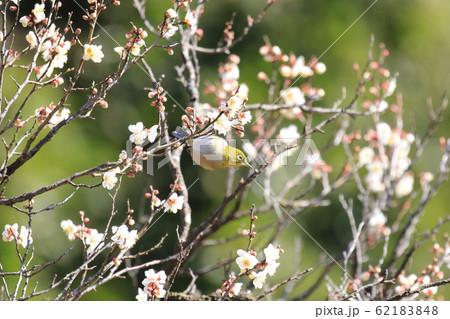 白梅の花蜜を吸いに来たメジロ 62183848