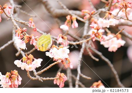 寒桜の花蜜を吸いに来たメジロ 62184573