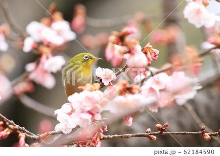 寒桜の花蜜を吸いに来たメジロ 62184590