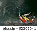 錦鯉 62202041