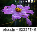 Purple cosmos flower with water drops on petals close up 62227546