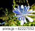 Blue centaurea flower close up 62227552
