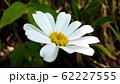 Daisy flower. Single chamomile close up 62227555