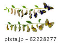 Butterfly Metamorphosis from Caterpillar to Full-bodied Specie Vector Illustration 62228277