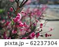 マゼンタの綺麗な花を咲かせた紅梅 62237304