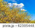 ロウバイの花 ろうばいの郷 満月種 半逆光 【群馬県】 62305448