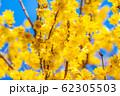 ロウバイの花 ろうばいの郷 満月種 順光 【群馬県】 62305503