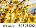ロウバイの花 ろうばいの郷 素芯種 逆光 【群馬県】 62305692
