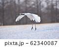 給餌場に飛んできたタンチョウ(北海道・鶴居) 62340087