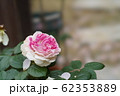 ピンクのバラ 62353889