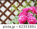 濃いピンクのバラ 62353891
