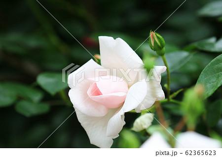 春バラ 気品のあるバラの花 62365623