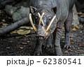 野生のバビルサのイメージ 62380541