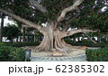 Gimbal middle shot of a big tree in the center of the park 62385302