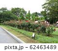 新緑と公園に咲く可憐なバラの花 62463489