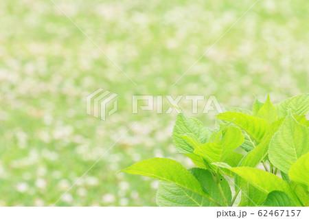 シロツメグサの中に一株の紫陽花 62467157