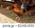 ハワイ カウアイ島の鶏 62481930
