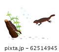 イモリ 水生生物 62514945