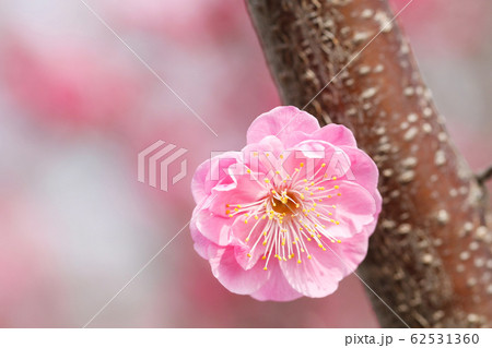 春を告げる紅梅の花 梅の木と花 62531360