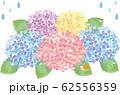 紫陽花:花 6月 梅雨 紫陽花 あじさい 和風 背景 ワンポイント 62556359