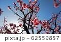 梅の花 62559857