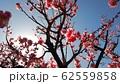 梅の花 62559858