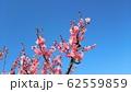 梅の花 62559859