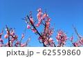 梅の花 62559860