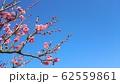 梅の花 62559861