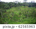 Young ricefields with coconut palms and irrigation system 62565963