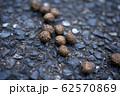 アマミノクロウサギの糞 62570869