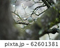 ウグイス・オス・二月・曇天・梅の木 62601381