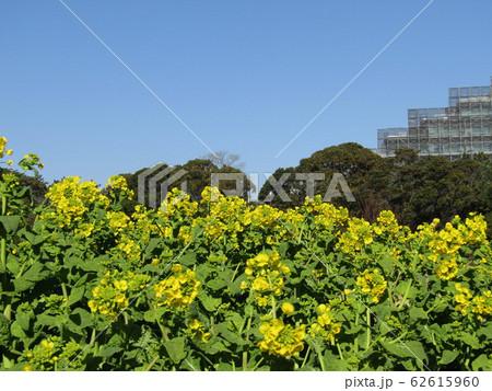 12月に咲き始めた早咲きナバナ 62615960