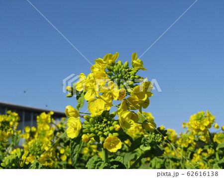 12月に咲き始めた早咲きナバナ 62616138