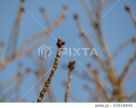 今年も楽しみな大島桜の冬芽 62618840