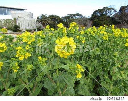 12月に咲き始めた早咲きナバナ 62618845