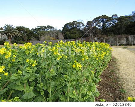 12月に咲き始めた早咲きナバナ 62618846