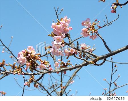 稲毛海岸駅前の河津桜が5分咲きです 62627056