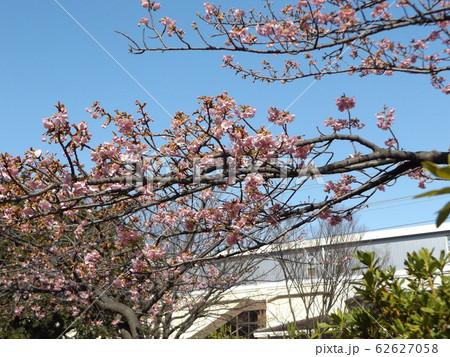 稲毛海岸駅前の河津桜が5分咲きです 62627058