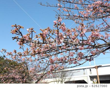 稲毛海岸駅前の河津桜が5分咲きです 62627060