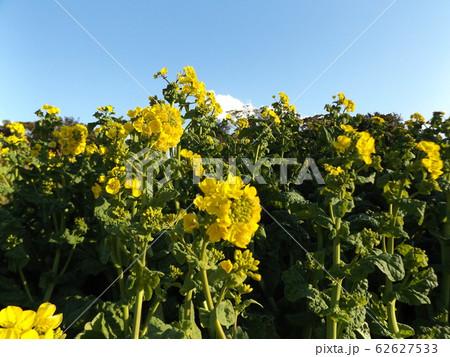 早咲きの菜花の黄色い花 62627533