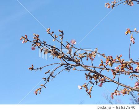 稲毛海岸駅前の河津桜が咲き始めました 62627840